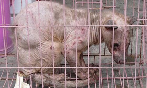 العثور على مخلوق بلا شعر من سلالة غريبة في الصين!