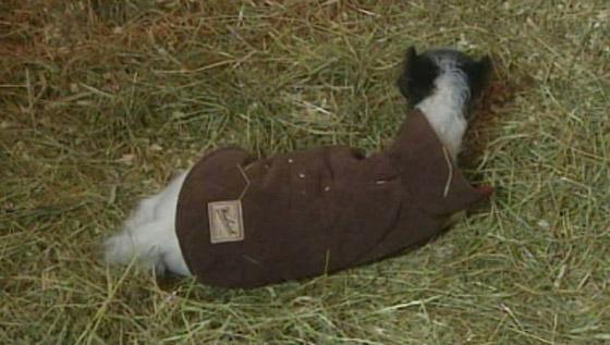 بالفيديو والصور أينشتاين يدخل جينس كأصغر حصان بالعالم horse2.jpg