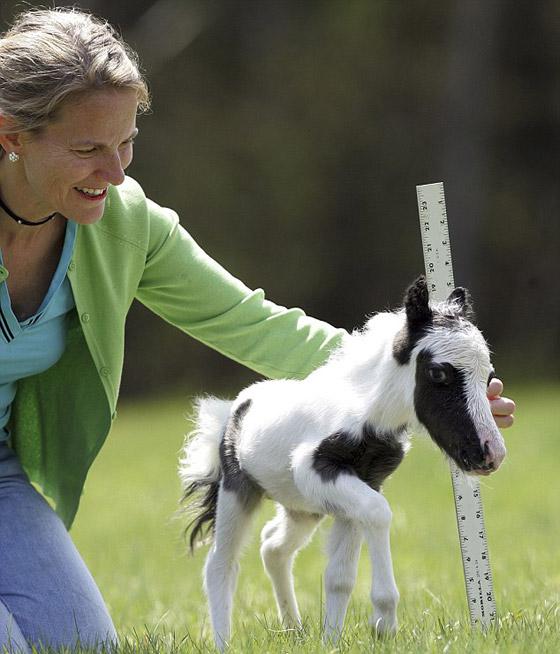 بالفيديو والصور أينشتاين يدخل جينس كأصغر حصان بالعالم horse3.jpg