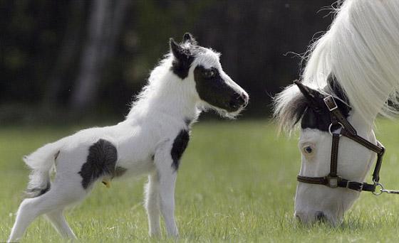 بالفيديو والصور أينشتاين يدخل جينس كأصغر حصان بالعالم horse5.jpg