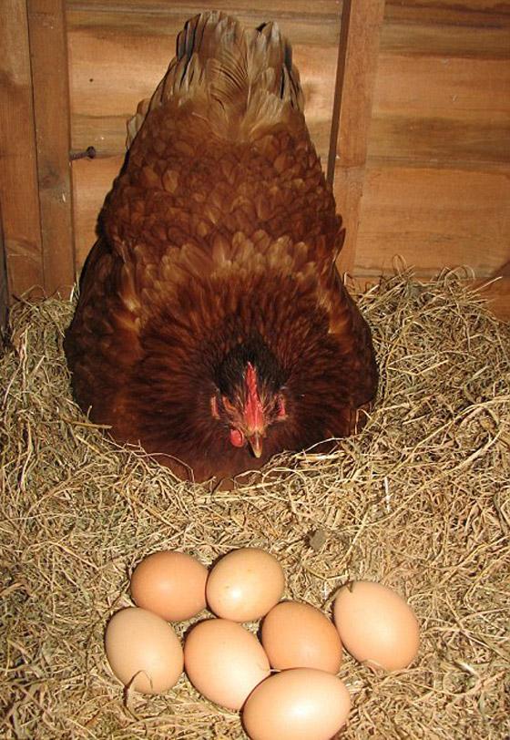 **دجاجه تحقق رقما عالميا بوضع 14 بيضة خلال ساعتين!!!