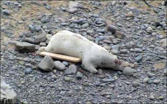 فجأة اكتشفوا أن الدب الأبيض الميت.. بقرة bear.jpg