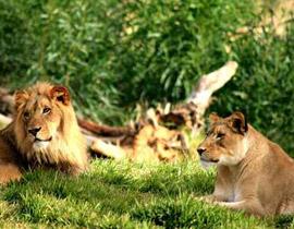 خبر مؤسف: ملك الغابة معرض للانقراض!