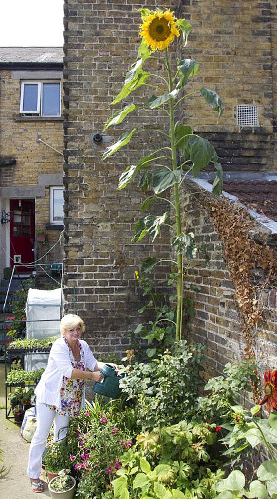 """قمة الغرابة.. """"زهرة إيفل"""": نبتة بطول 7 امتار!! Sunflower_1"""