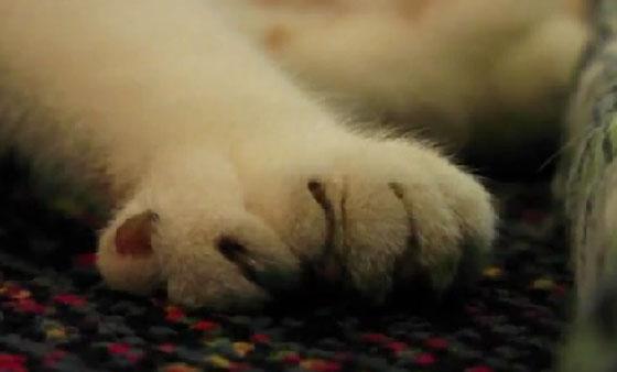 قط بـ26 اصبعا يجمع التبرعات لمراكز انقاذ الحيوانات! Cat_daniel_01_1