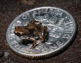 ضفدع بطول 7.7 مليمترات اصغر حيوان فقري في العالم!