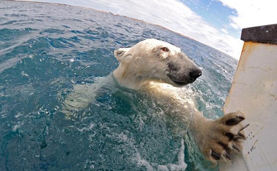 مع كل المواقف: مصور ينجح في التقاط صور لدب قطبي من قريب