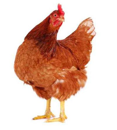 الدجاج كمؤشر لزلزال أو تسونامي