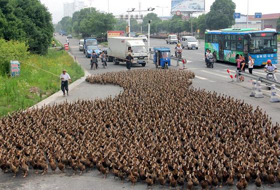 مزارع صيني يأخذ 5 آلاف بطة لينزههن ويرفه عنهن!