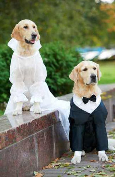 كلب مدلل يحظى بزفاف من نوع مختلف وفرقة موسيقية تشارك!