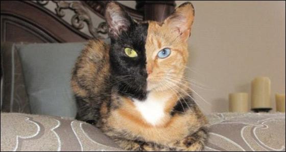 القطة فينوس.. قطة فريدة من نوعها وجهها ينقسم الى لونين!