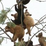 شجرة كاملة من اطفال  الدببه