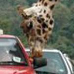 زرافه تأكل من سياره