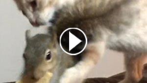 شاهد بالفيديو دفاع السنجاب المستميت عن طعامه متحديا القطة!