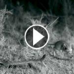 فيديو مذهل.. صراع البقاء بين أفعى سامة وفأر مراوغ