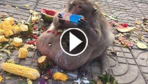 لقطات طريفة لقرد يعاني من السمنة المفرطة.. فيديو وصور