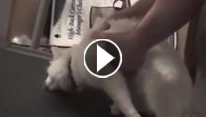 فيديو طريف..  قط  يثير السخرية بسبب كسله