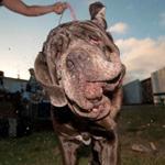 تعرّف إلى أبشع كلبة في العالم للعام 2017