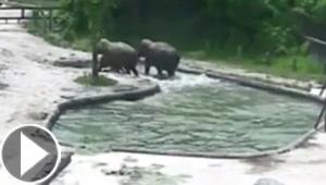 فيديو مثير لأروع عملية إنقاذ: فيلة تنقذ فيل صغير سقط في الماء