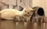 قطة تربح بلعبة الفنجان! مذهل!!!