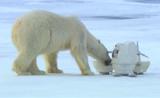 لقطات رائعة لدب القطبي في تحطيم كاميرات التجسس
