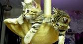 قطتان تشاهدا مباراة للتنس بحماسة
