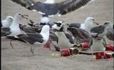 شباب يضعون المسهلات لطيور النورس! مضحك